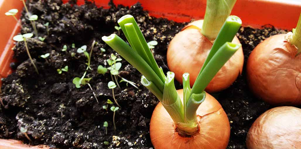 Onions in a plant pot