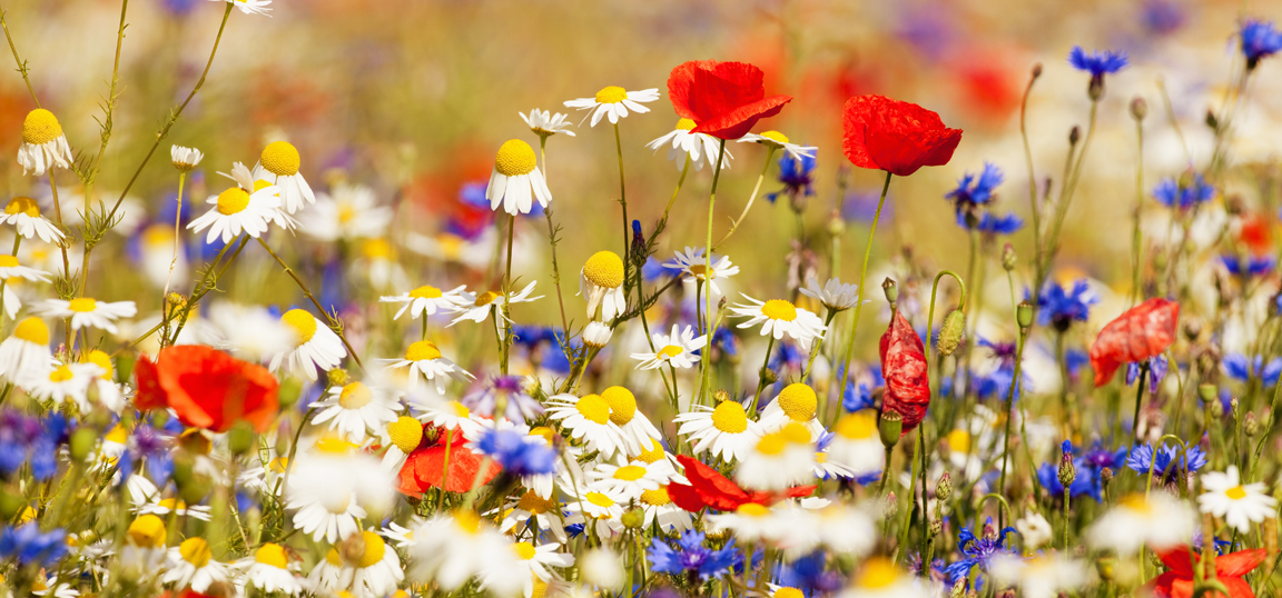Meadow of wildflowers in the sun, Poppies and Daises