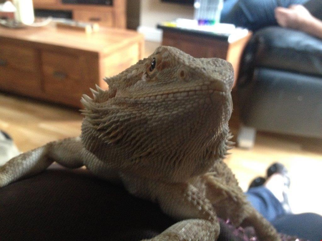 Bearded Dragon belonging to HomeServe employee