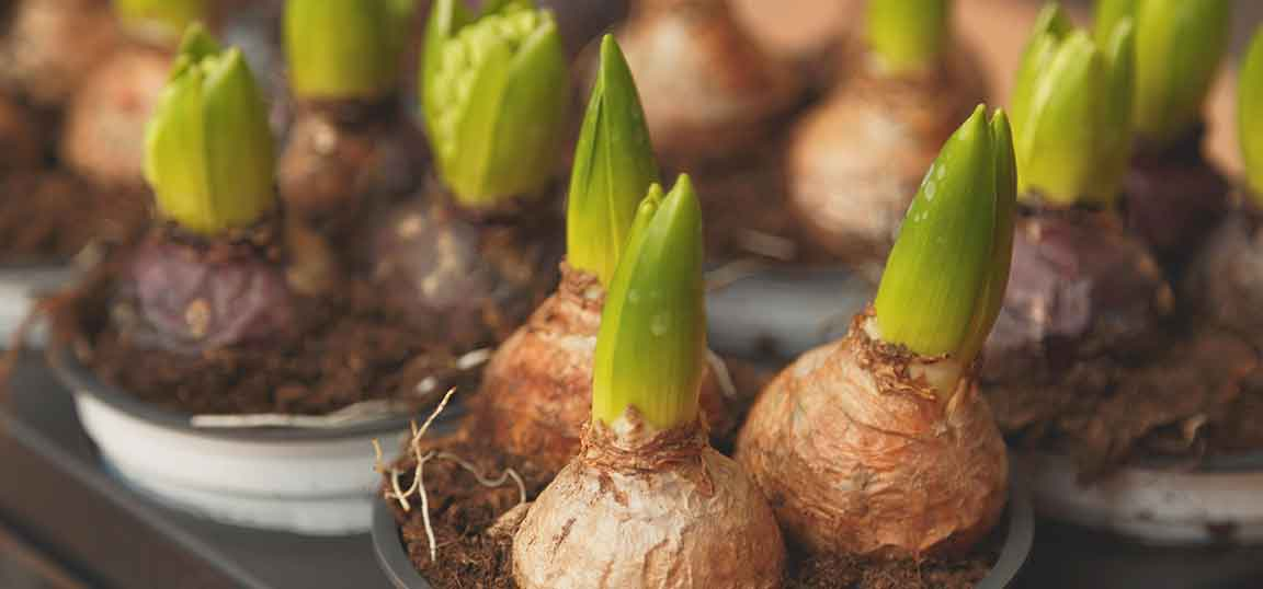 Bulbs growing in pots - green shoots growing