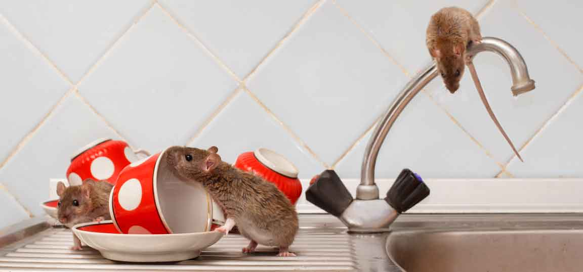 How to deter mice and rats from your home | How-to videos