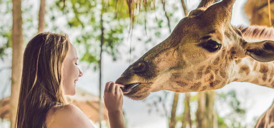 Girl feeding a giraffe